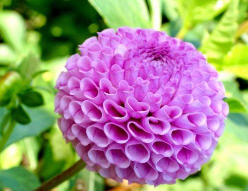 Các loại hoa thược dược phổ biến ở Việt Nam