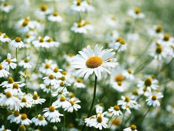 Ý nghĩa hoa cúc trắng trong tình yêu